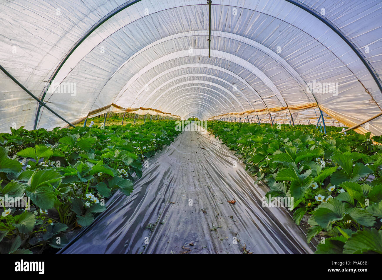 Blossom of strawberry plants growing in outdoor greenhouse covered on outdoor office, outdoor supplies, outdoor garage, outdoor tools, outdoor pool house, outdoor technology, outdoor tea house, outdoor nursery, outdoor photographer, outdoor hotel,