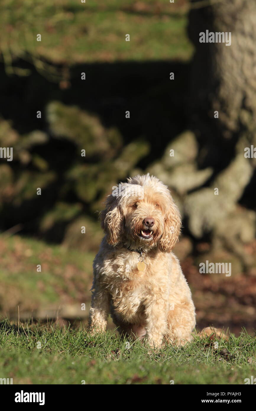 Cockapoo sitting on grass by tree - Stock Image