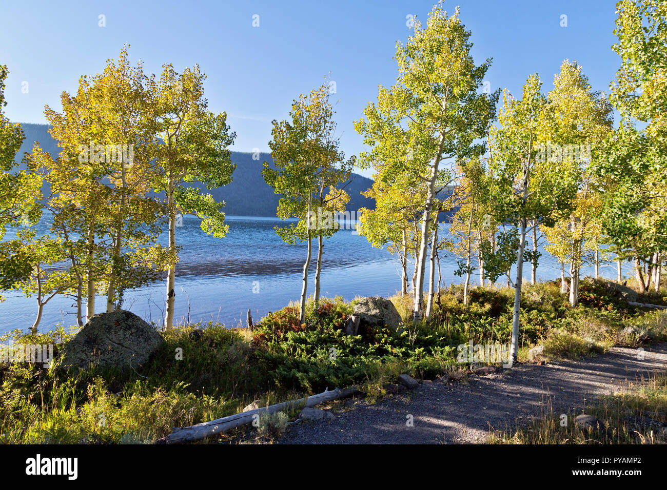 Quaking Aspen Grove 'Pando Clone' also known as Tembling Giant.  Clonal colony. - Stock Image