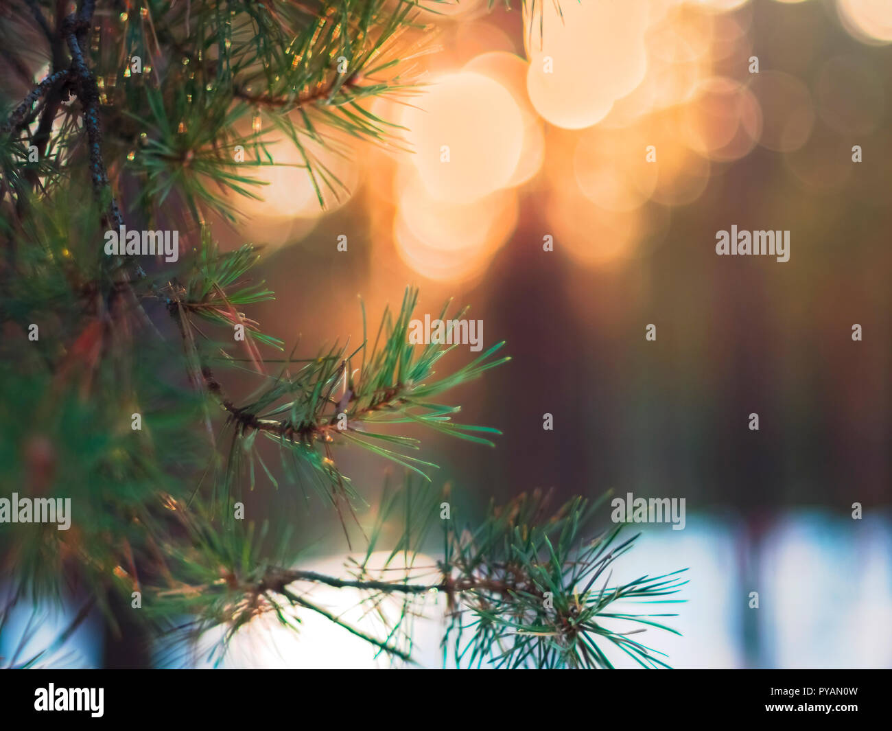a12ebaf75df Pine Tree Fir Branch In The Winter Forest. Colorful Blurred Warm Christmas  Lights In Background