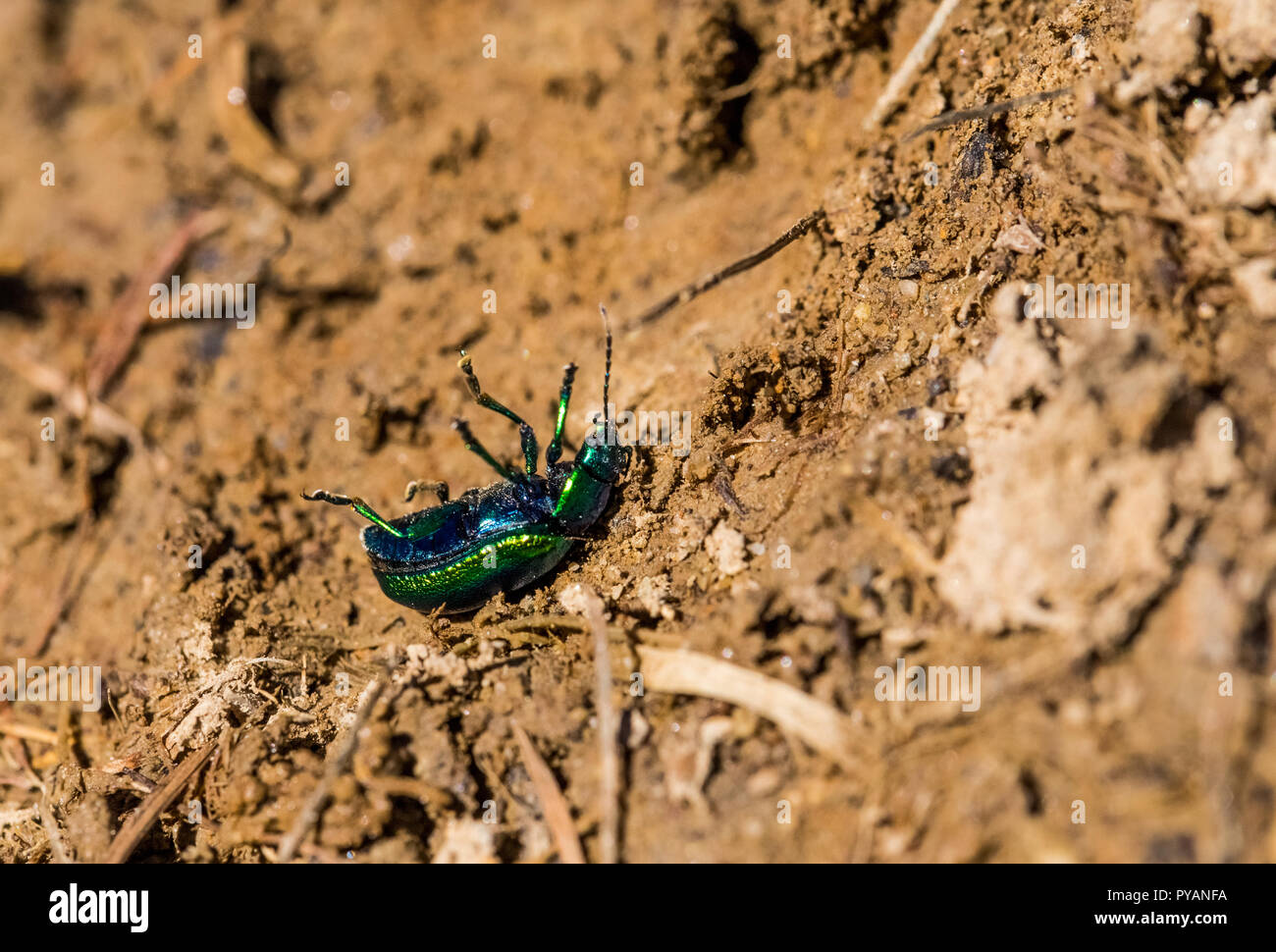 Close up of a green bug turned over. - Stock Image