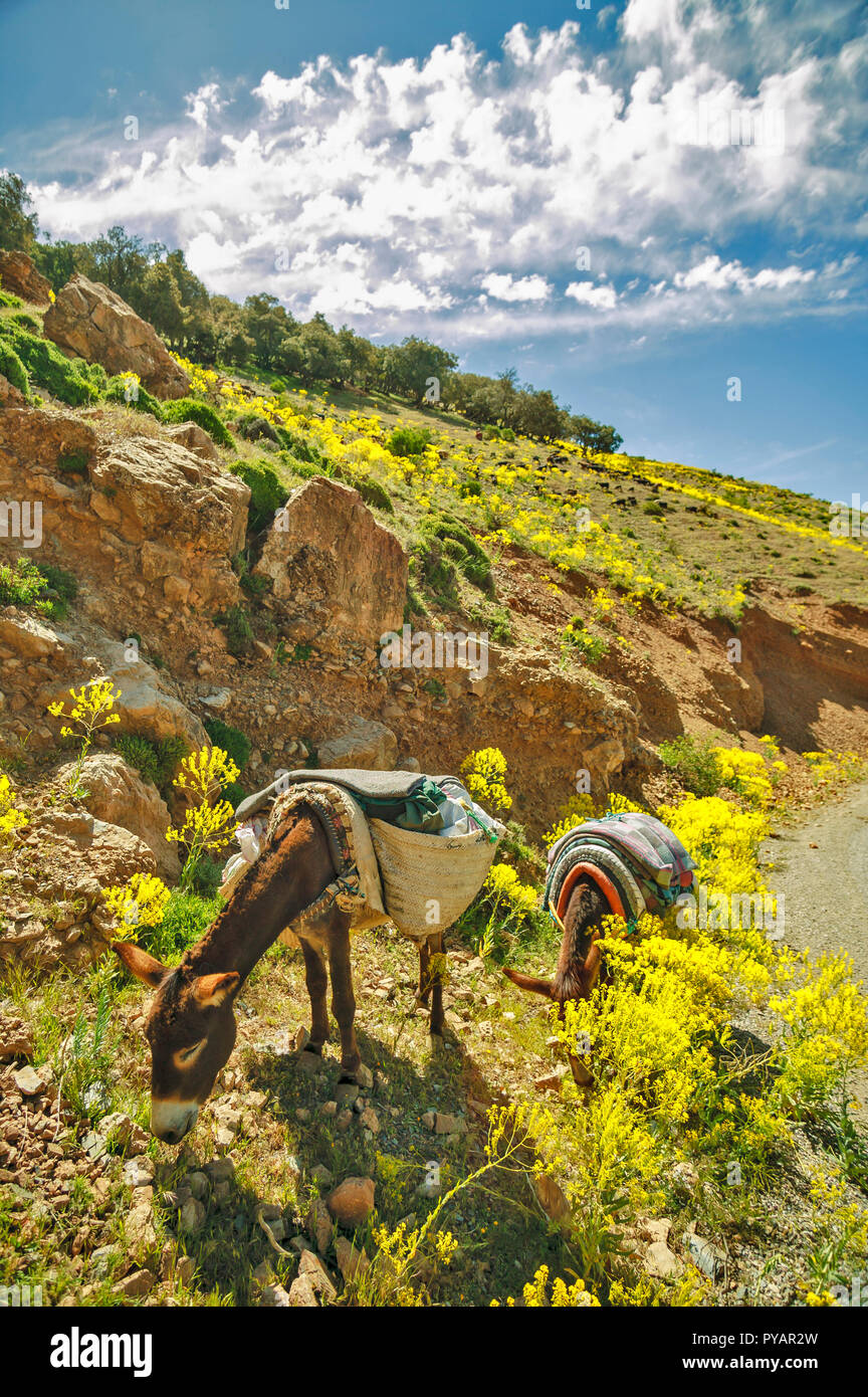 MOROCCO SOUS VALLEY TWO DONKEYS GRAZING AT THE ROADSIDE - Stock Image