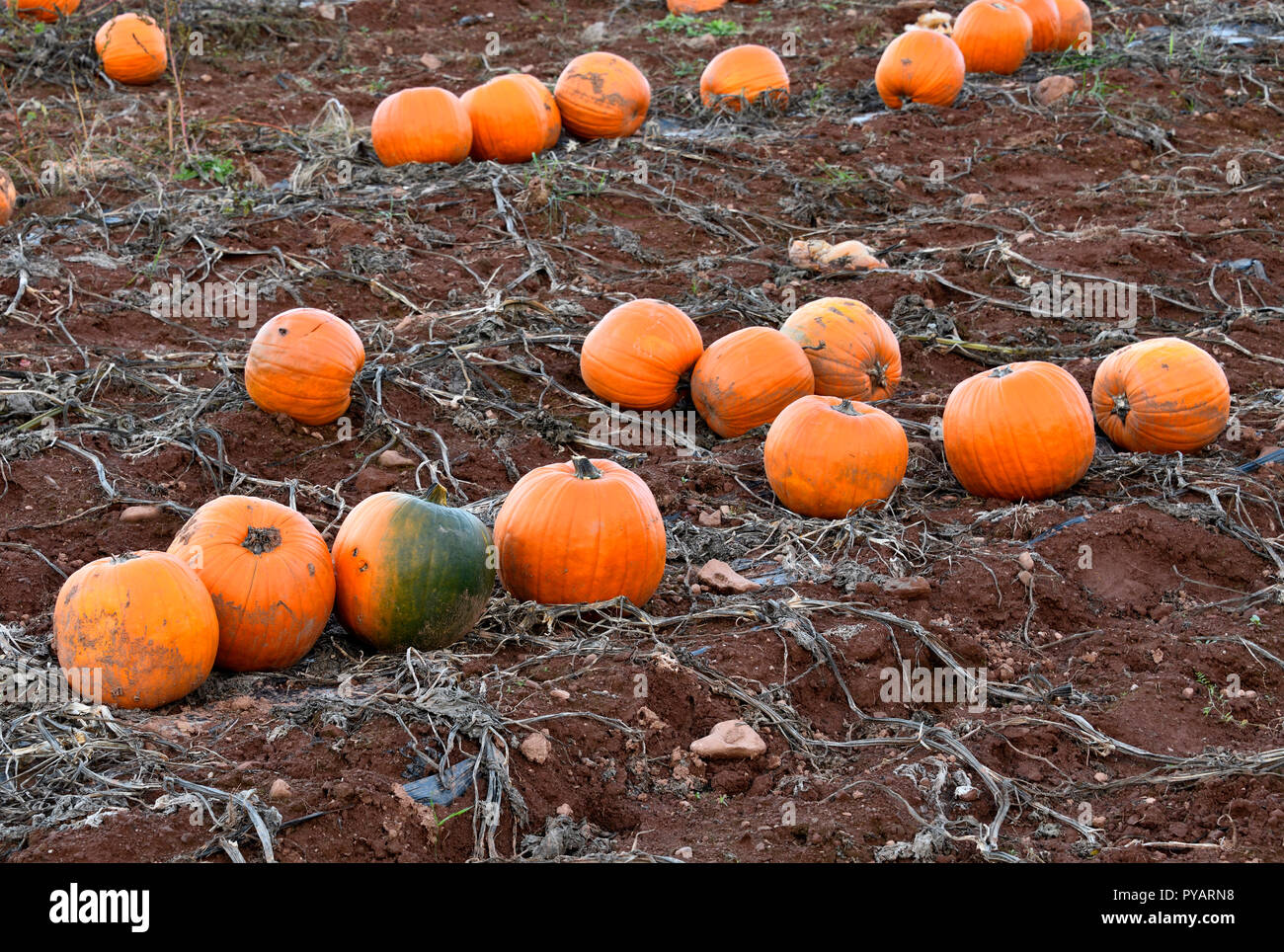 A farm field with pumpkins ready for harvest in rural Sussex New Brunswick Canada - Stock Image