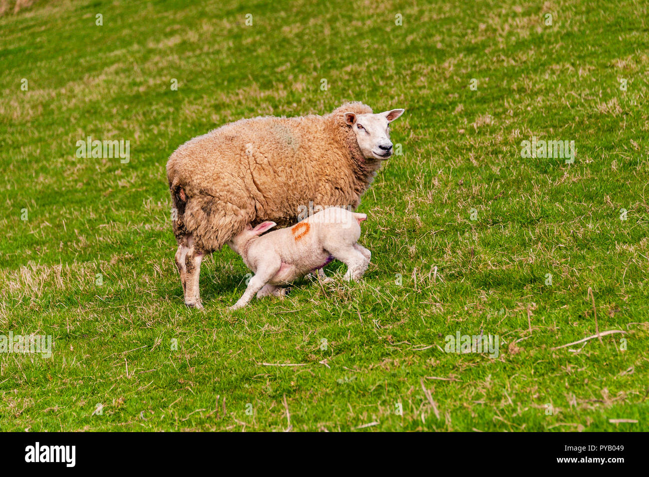 Lamb suckling from its mother on the hillside in Wales Stock Photo