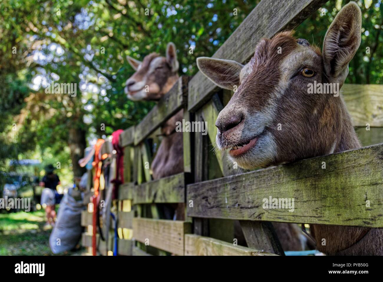 Smiling goat at an agricultural show, Motueka, New Zealand - Stock Image