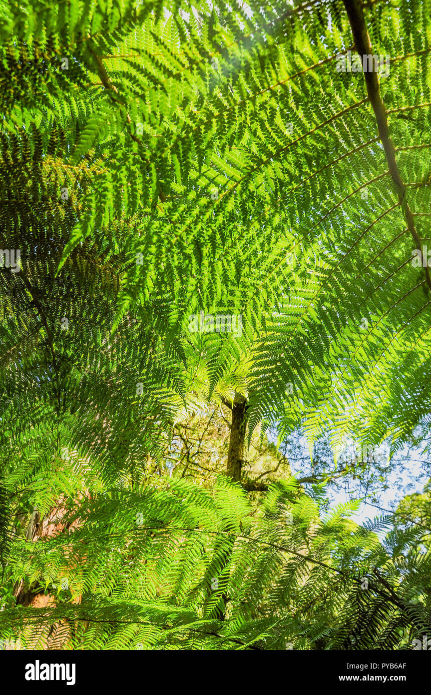 Great Otway National Park. Otway fly tree top walk. Walk among the tops of trees in the Australian forest, near the town of Apollo Bay Stock Photo