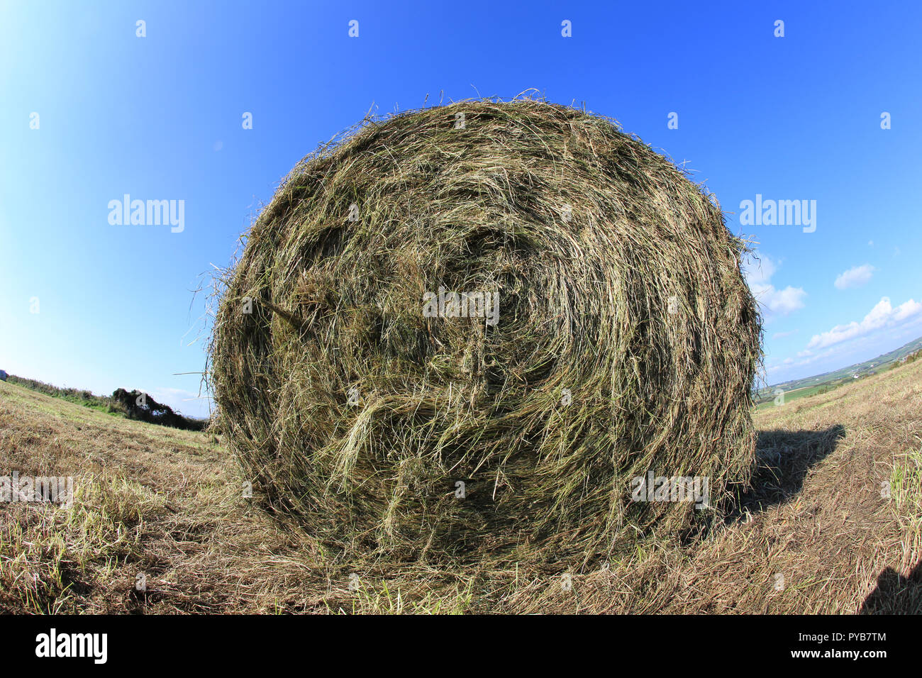 large round bale of grain straw lying in a field, wild atlantic way, county kerry, ireland - Stock Image
