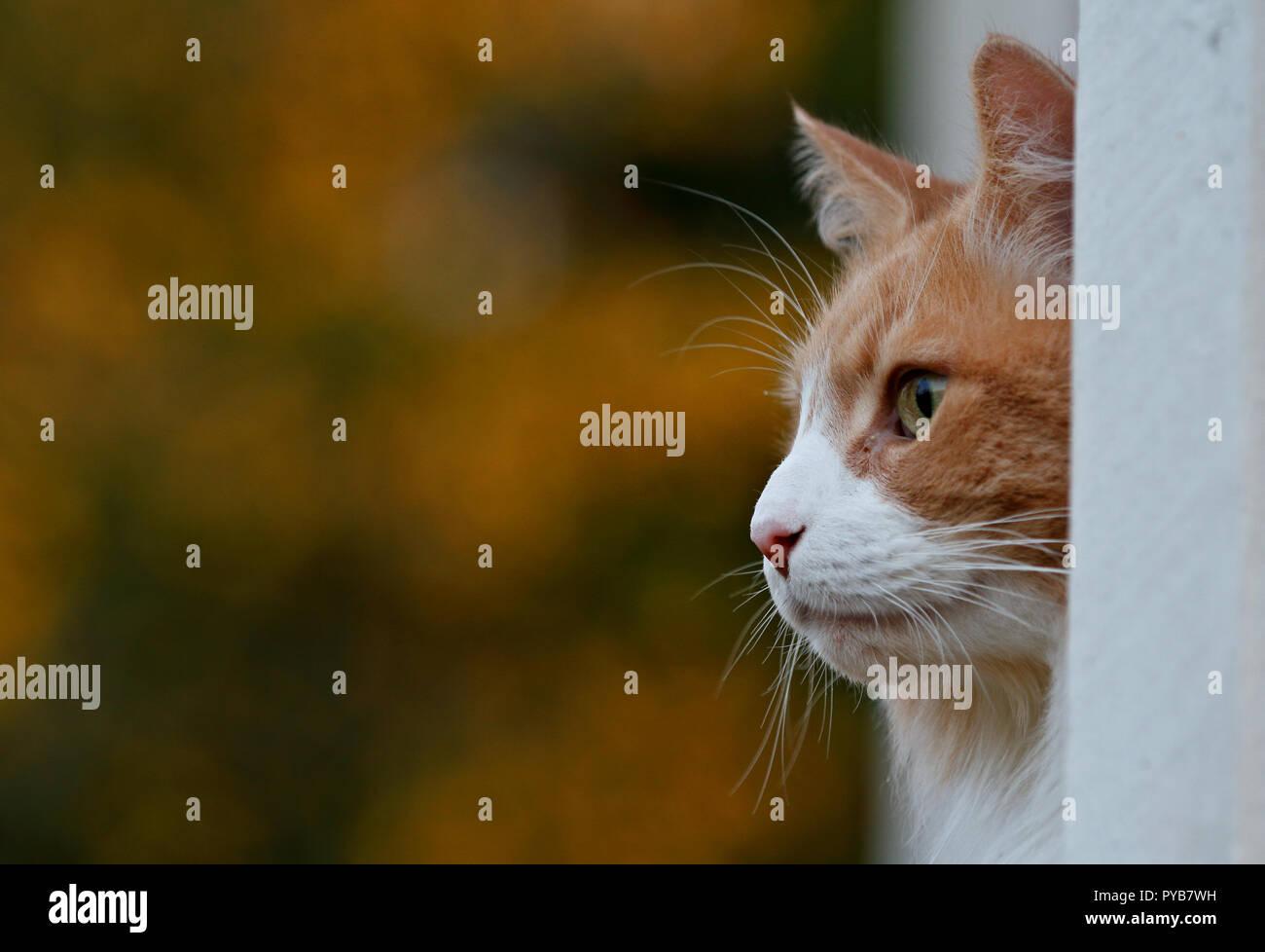 Norwegian forest cat outdoors. He is hiding in corner. - Stock Image