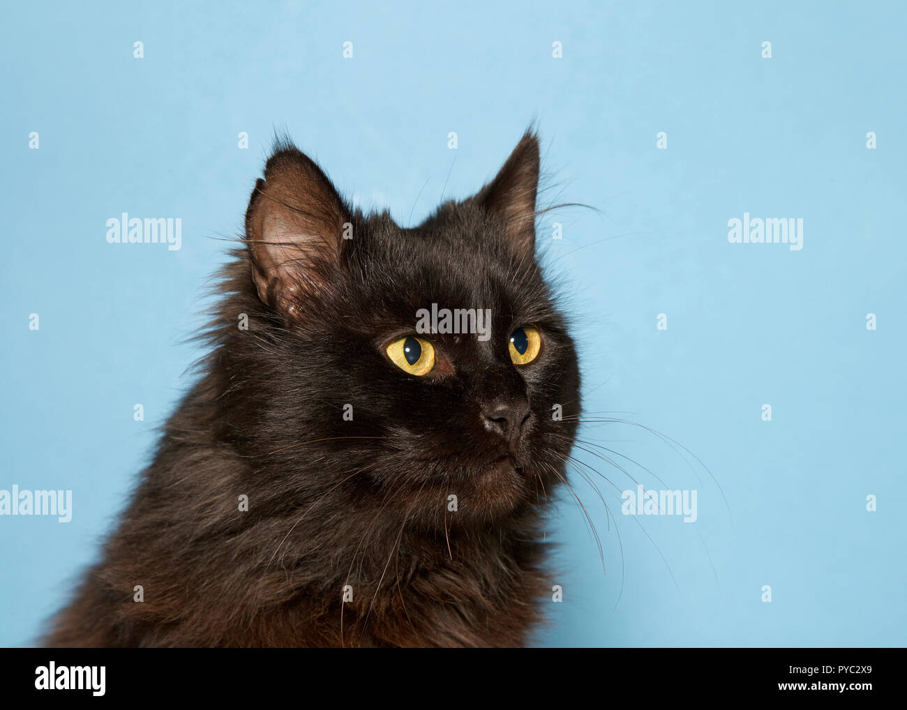 Long Haired Black Cat Stock Photos Long Haired Black Cat