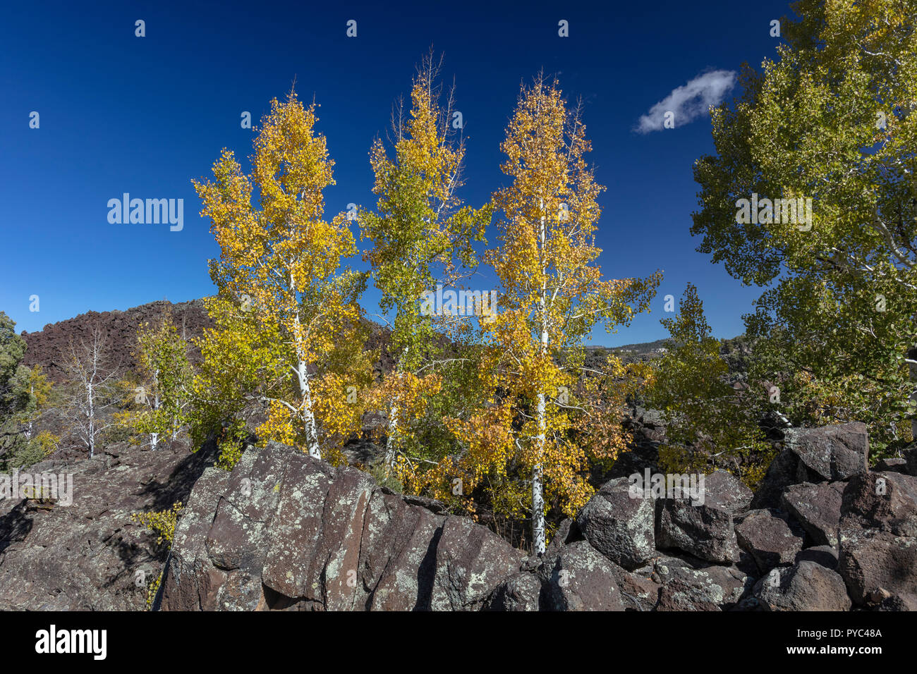 Changing Aspen Growing in Ancient Lava Flow, Southern Utah - Stock Image