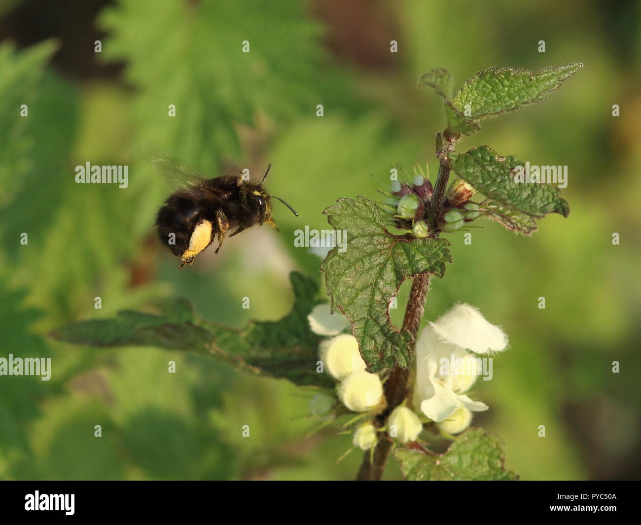Male Bumblebee collecting Pollen on leg sacks, flying to  Lamium album, White dead nettle flower. Foraging for food - Stock Image