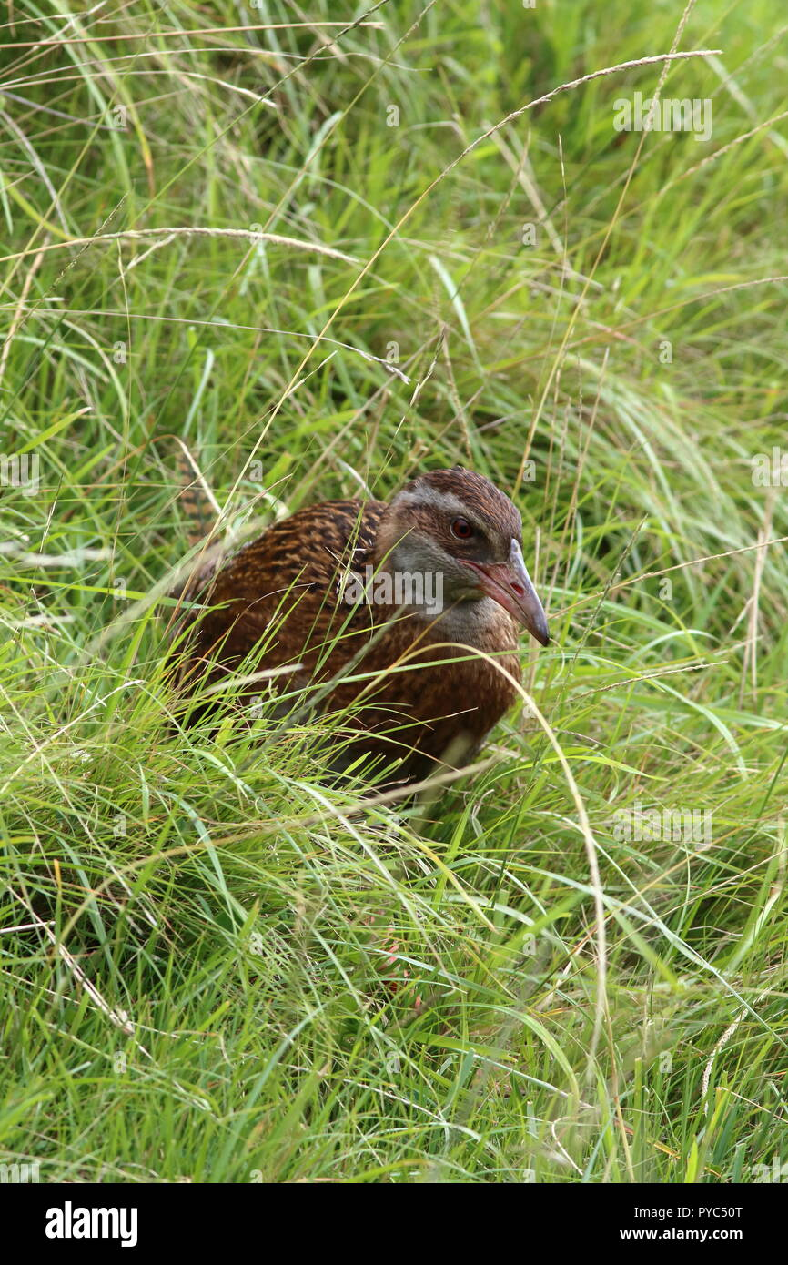 Weka, on a grass enbankment in tussock grass, this is an endemic omnivorous flightless rail, with a latin name of Gallirallus australis. - Stock Image