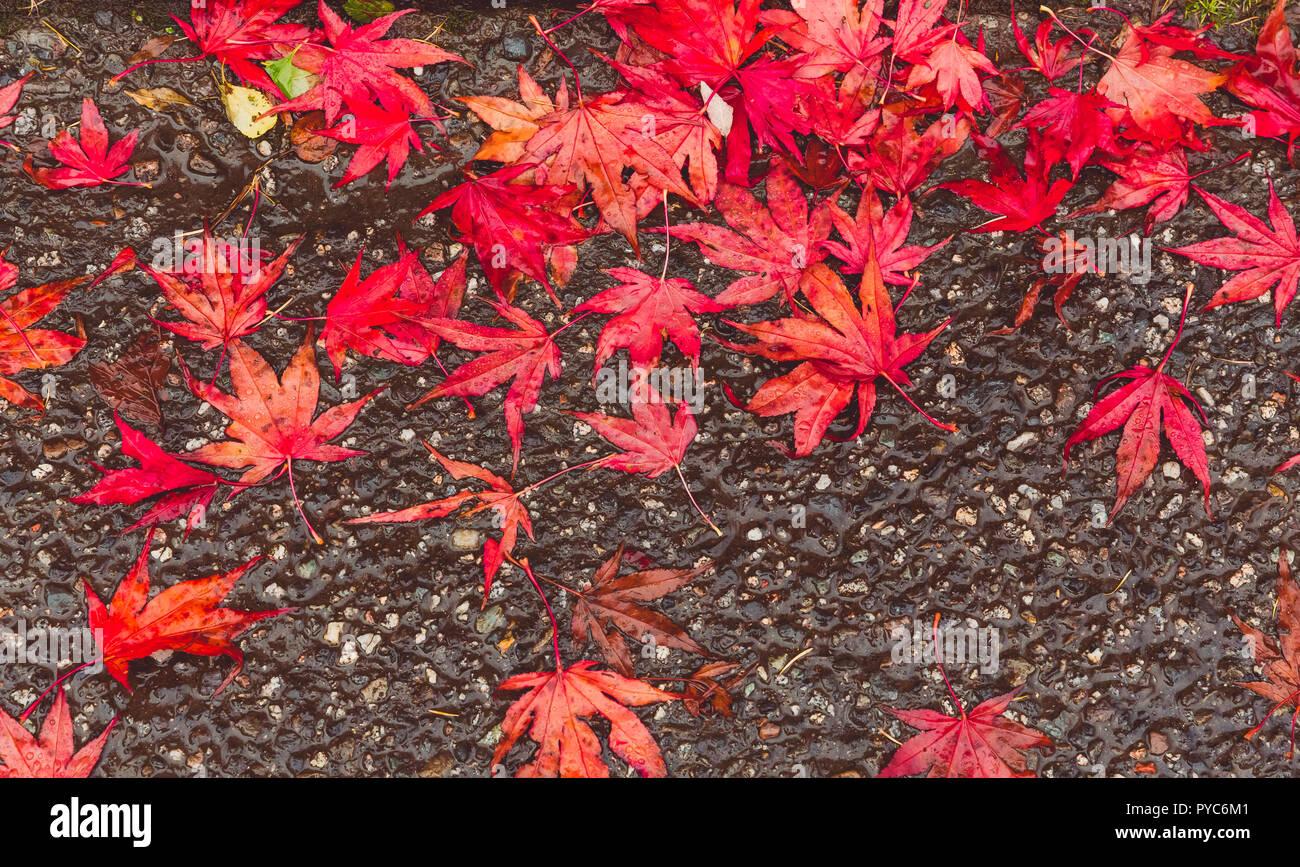 Acer Palmatum October Stock Photos Acer Palmatum October Stock