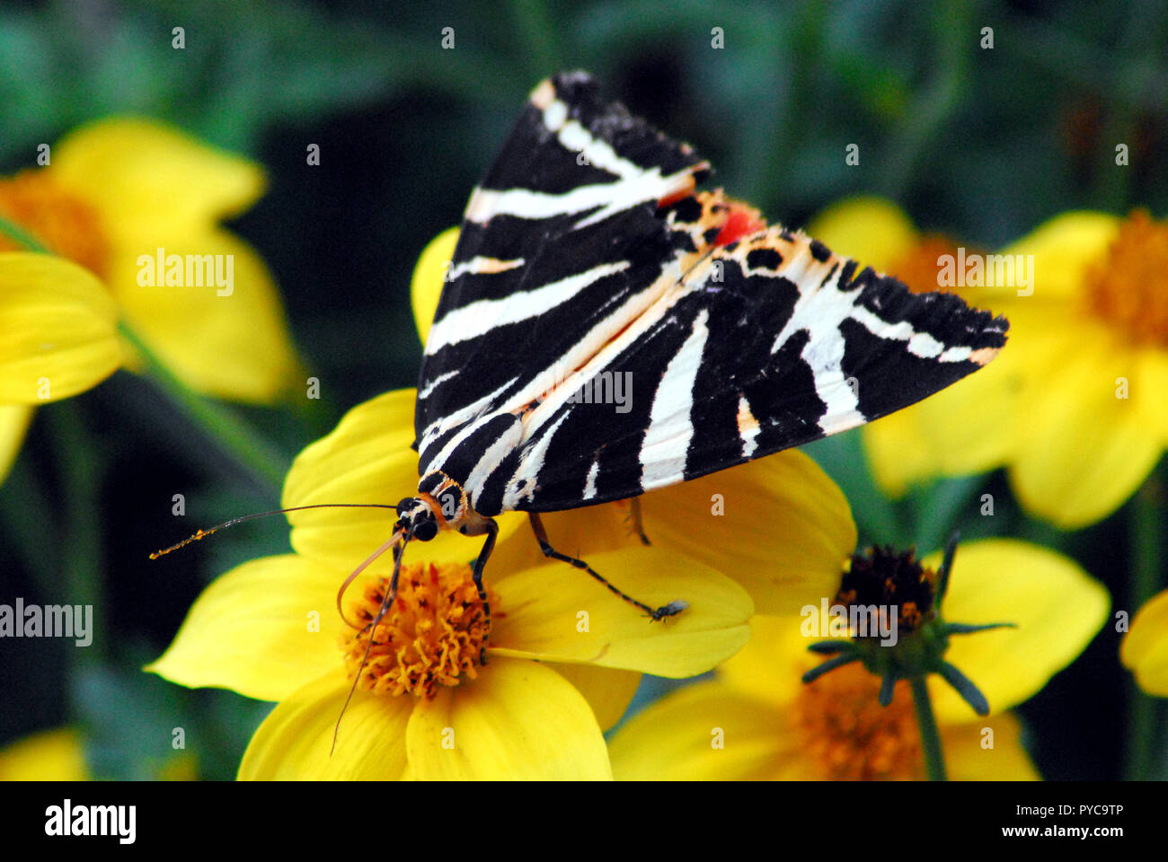 Close up of a uniquely beautiful black, white and red butterfly on yellow flowers in Brittany, France.  Note the tiny fly by its foot. - Stock Image