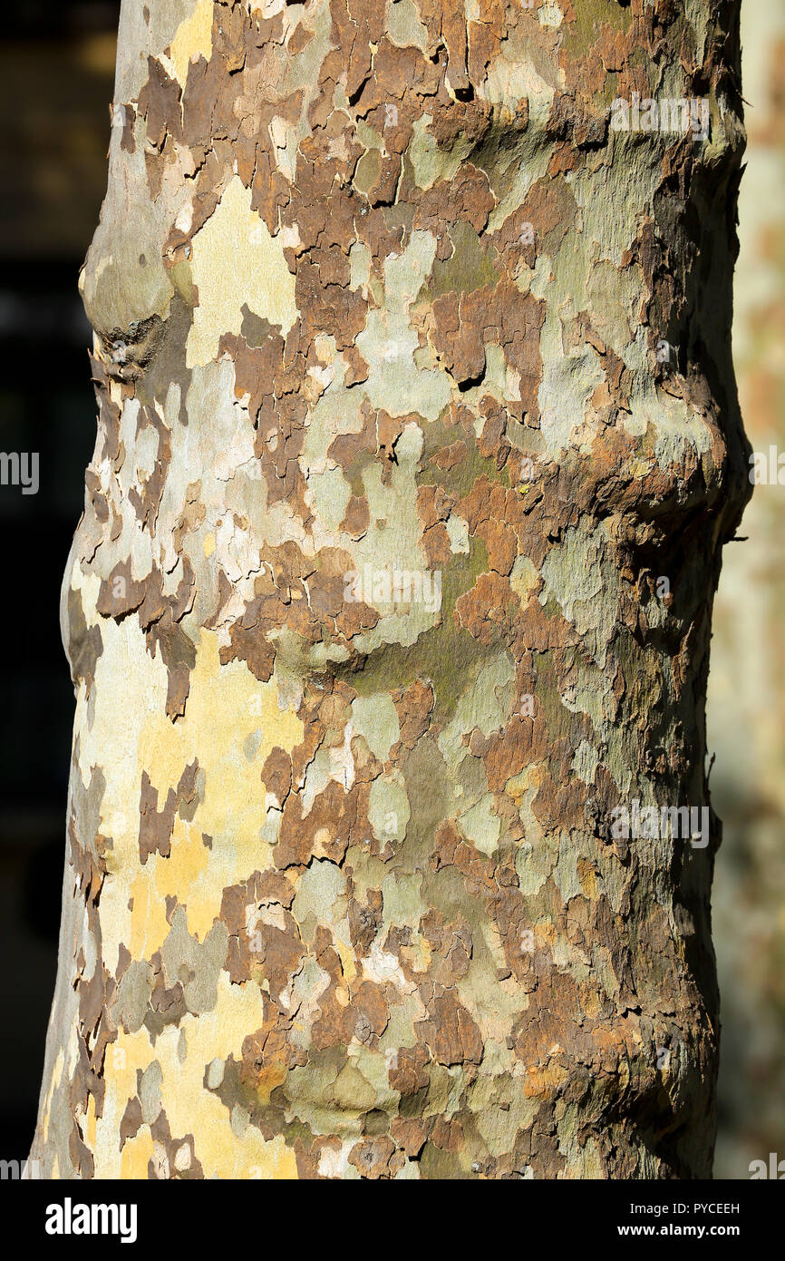 Close up of mottled bark on plane tree trunk. - Stock Image