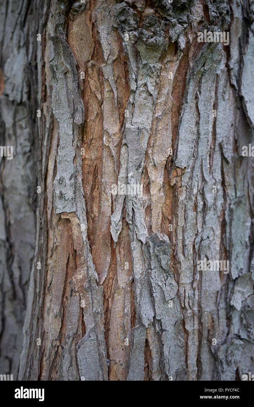 Acer Saccharinum Bark Close Up Stock Photo 223395436 Alamy