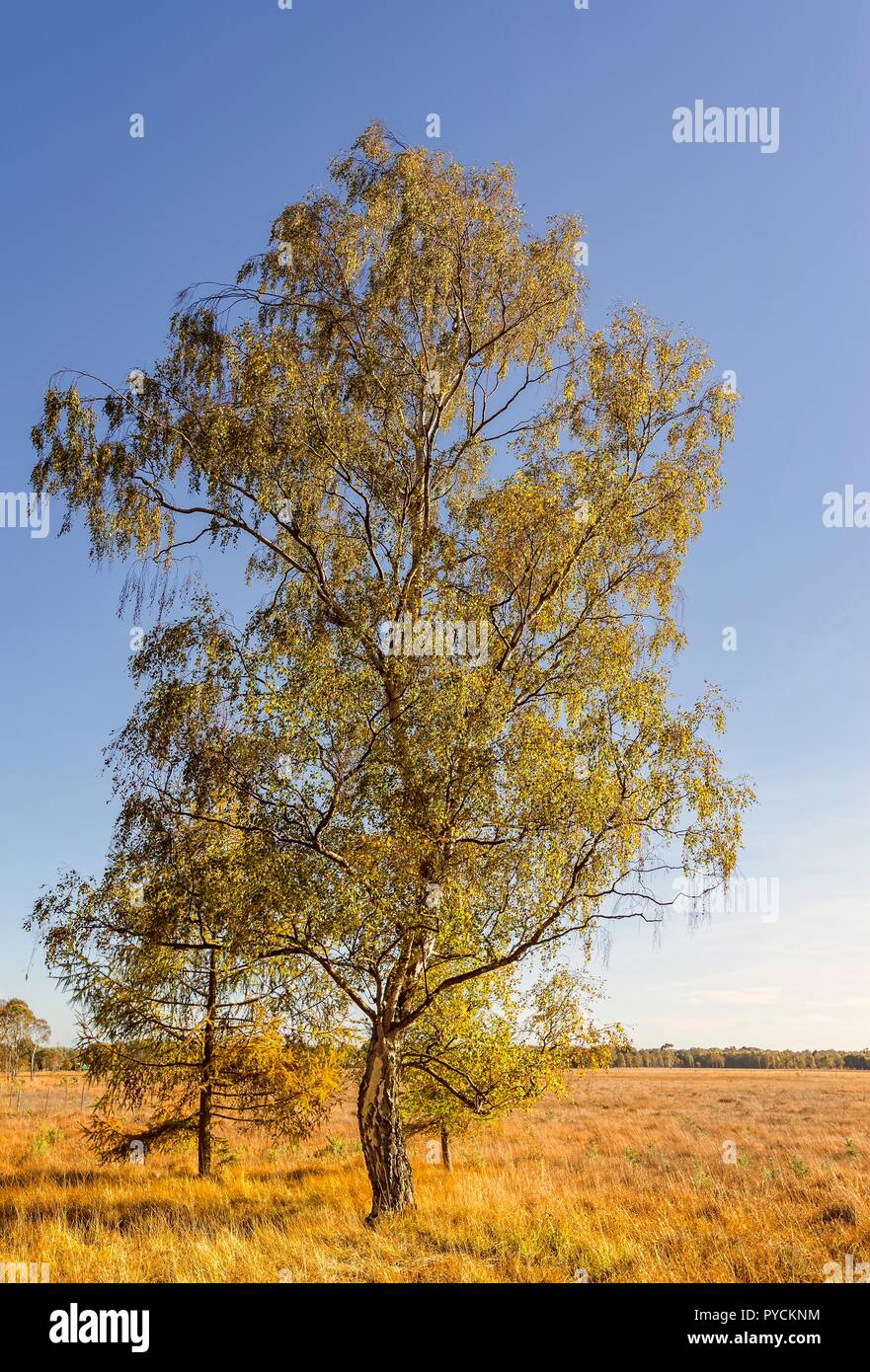 A tall isolated silver birch tree in its autumn colours.  A moorland stretches back to the edge of a woodland and a blue sky is overhead. Stock Photo