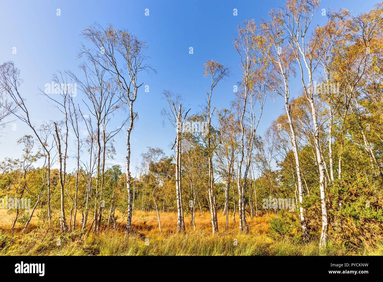 A spread of silver birch trees on moorland in autumn. Some have already lost all their leaves, others are adorned with golden orange foliage. Stock Photo