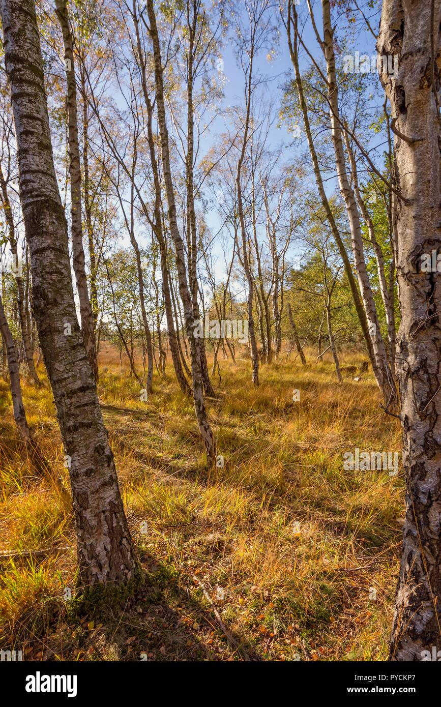 A cluster of silver birch trees in autumn. Long shadows thrown by the afternoon sun fall onto the forest floor. A blue sky is overhead. Stock Photo
