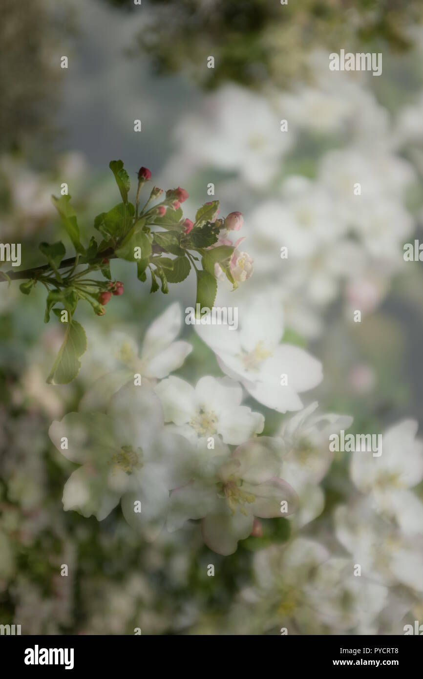 Double exposure of close up of white apple blossoms Stock Photo