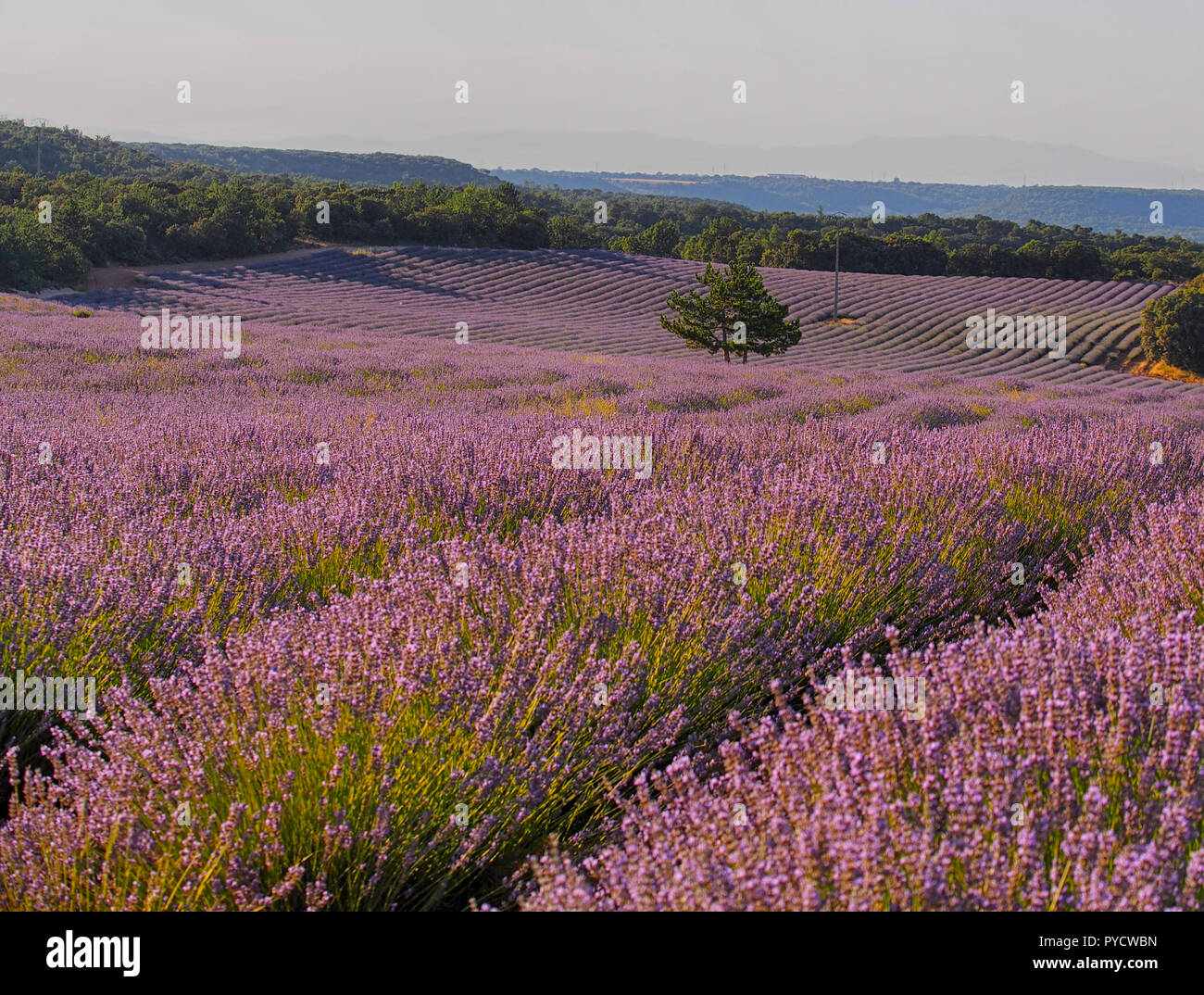 Sunset.Lavender field in sunlight,Spain. Beautiful image of lavender field.Lavender flower field, image for natural background.Very nice view of the l - Stock Image