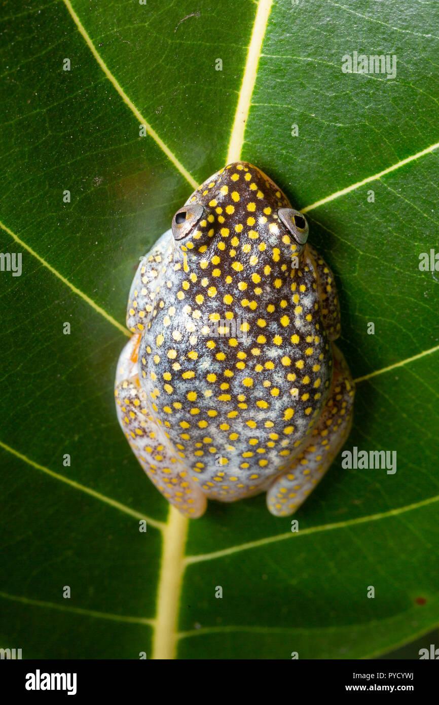 White-spotted Reed Frog, Heterixalus alboguttatus, Ranomafana National Park, Madagascar. Family Hyperoliidae. Stock Photo