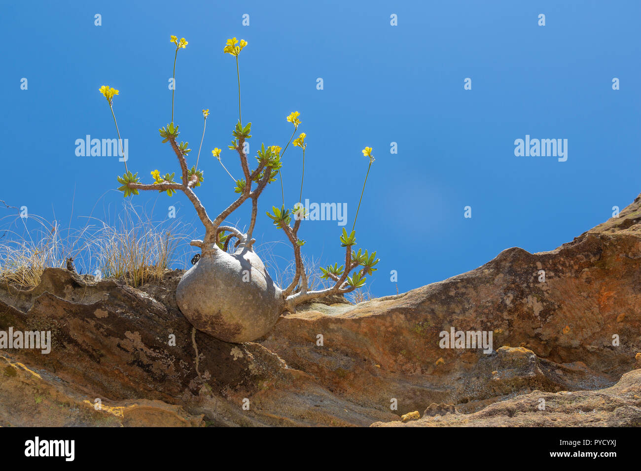 Elephants Foot plant, Pachypodium rosulatum, Isalo National Park, Central Madagascar - Stock Image
