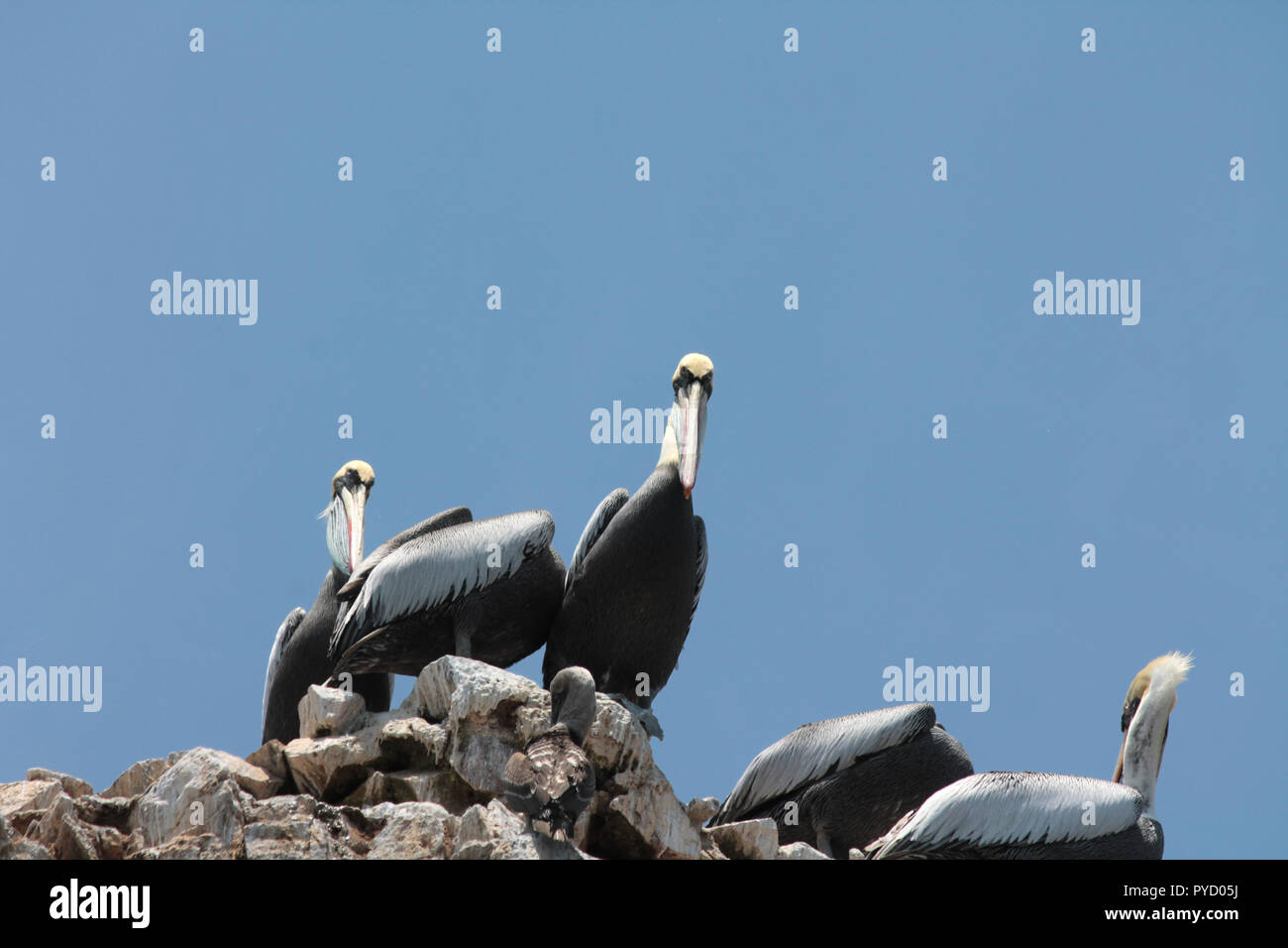Pelicans looking skeptical - Stock Image