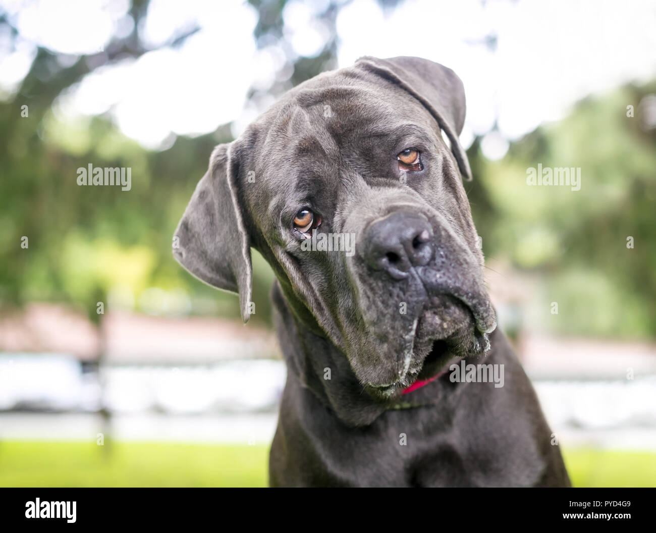 A Purebred Cane Corso Mastiff Dog Outdoors Listening With A Head Tilt Stock Photo Alamy