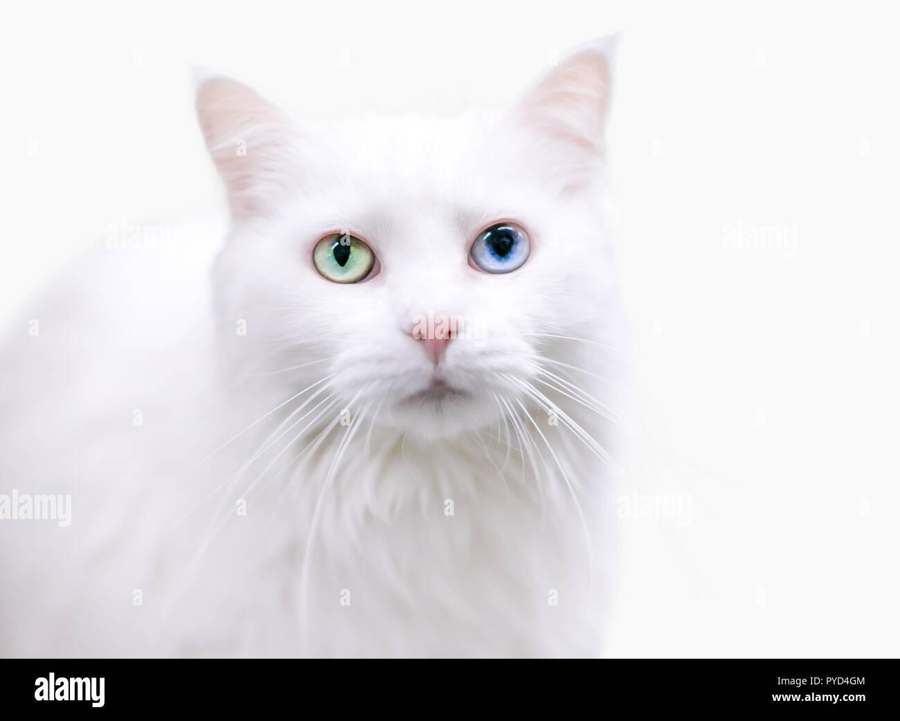 d057aef3e1 Heterochromia Cat Stock Photos   Heterochromia Cat Stock Images - Alamy