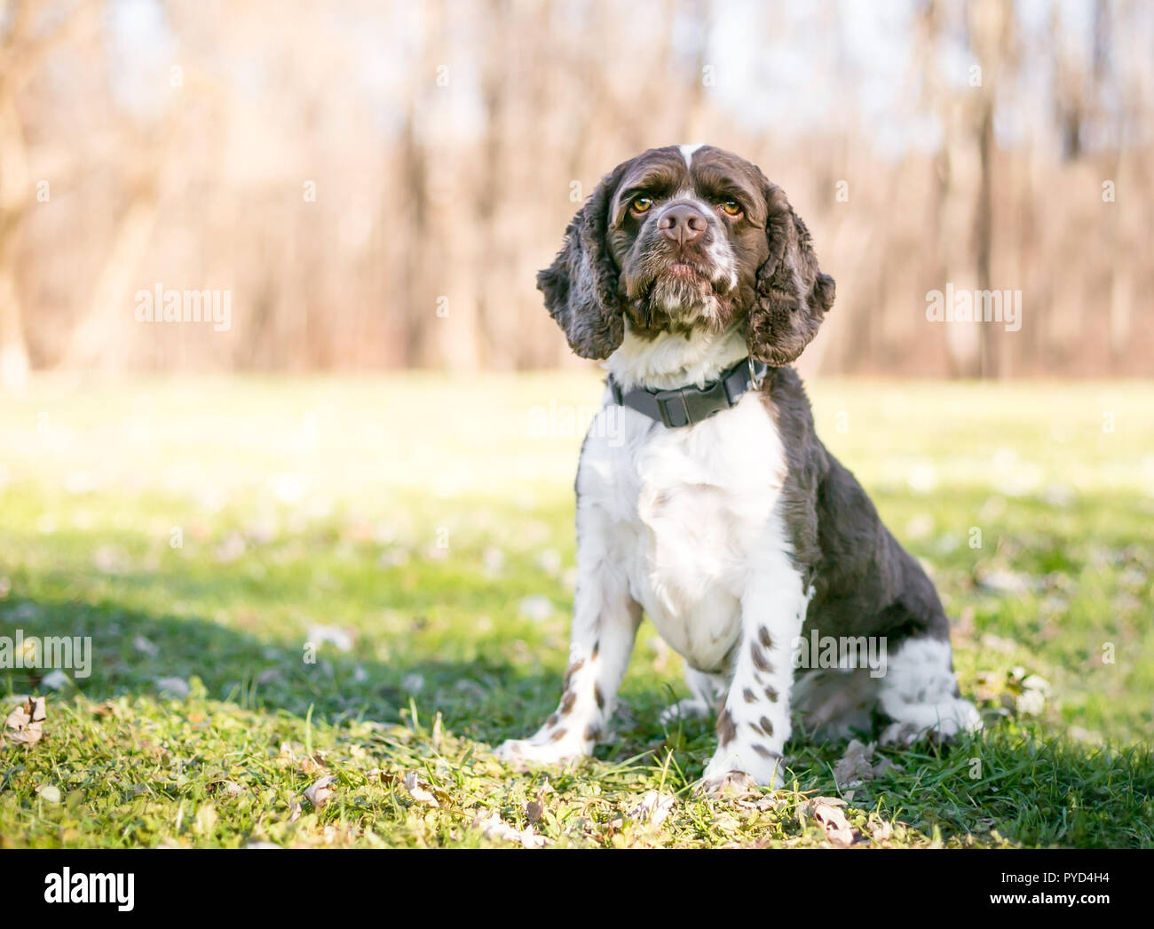 A Cocker Spaniel dog with brown and white markings sitting outdoors - Stock Image