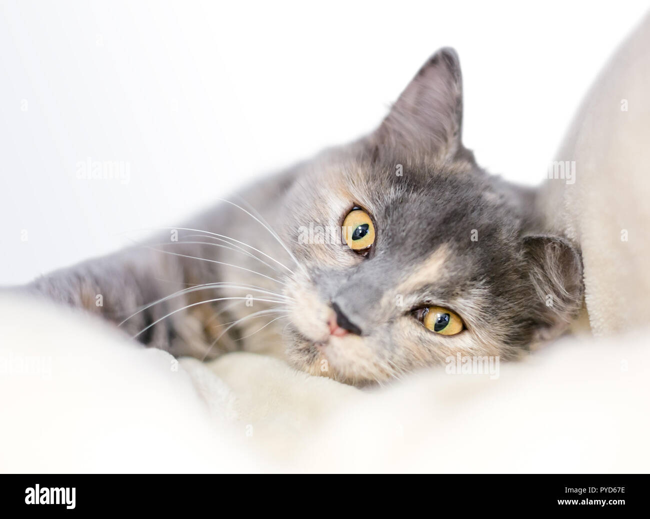 A Dilute Tortoiseshell cat with yellow eyes relaxing on a soft blanket - Stock Image