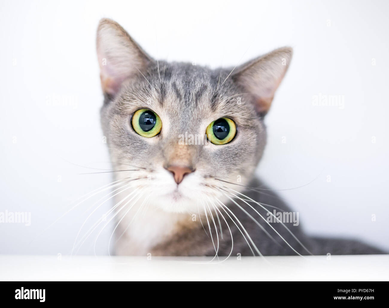 A wide-eyed domestic shorthair cat with large dilated pupils - Stock Image