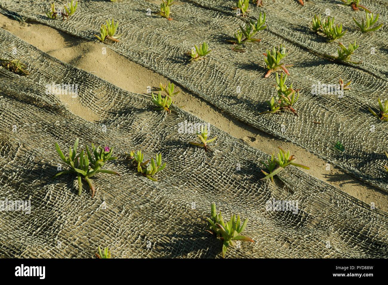 Durban, KwaZulu-Natal, South Africa, close up, Natal Dune Vygie, Carpobrotus edulis, in natural material netting, stabilise sand, dune rehabilitation Stock Photo