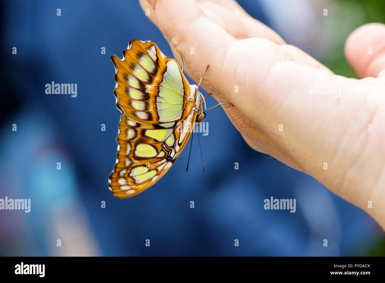 Malachite butterlfy (Siproeta Stelenes) on hand - Stock Image