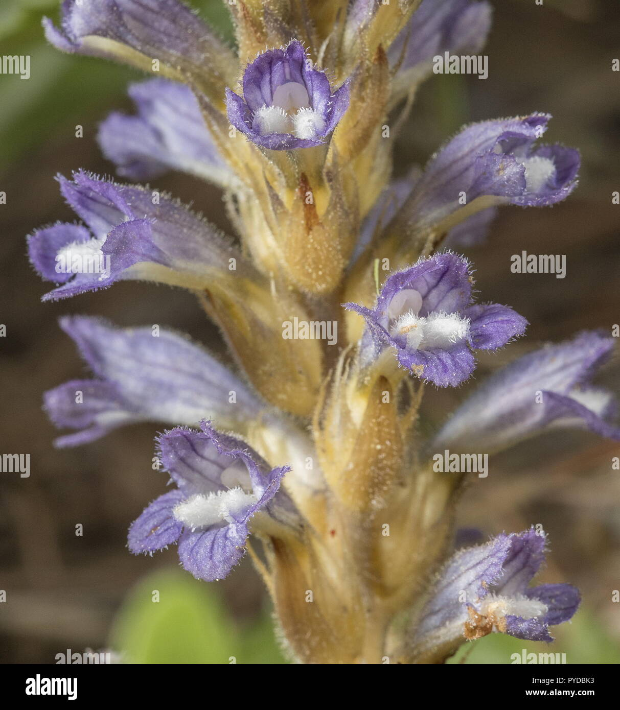 Branched broomrape, Orobanche ramosa, in flower. Parasite on Oxalis. Rhodes. Stock Photo