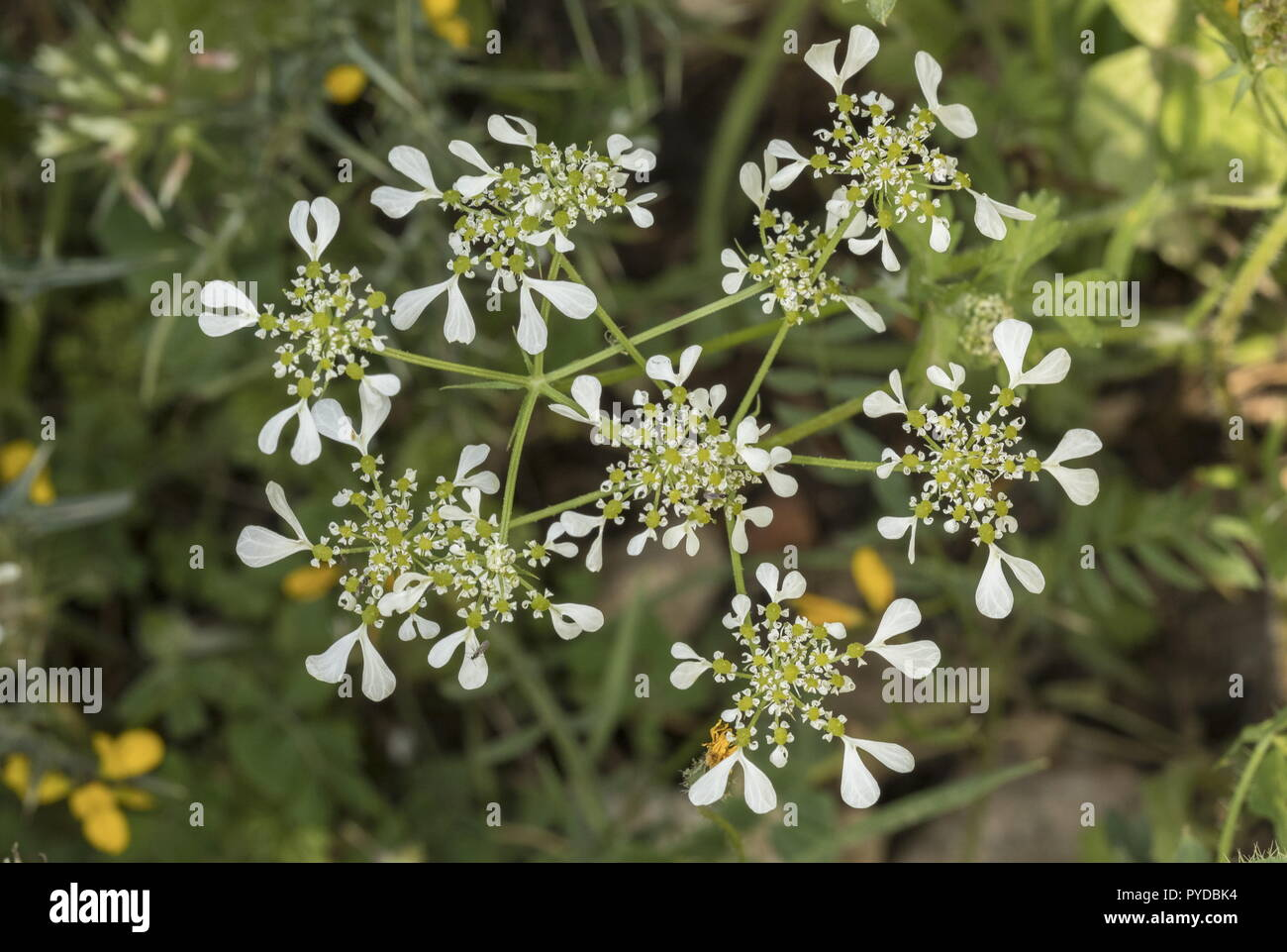 Mediterranean hartwort, Tordylium apulum in flower; Rhodes. Stock Photo