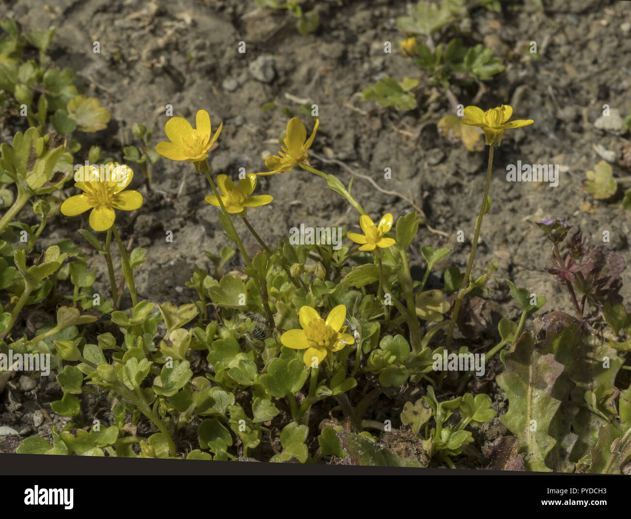 Hairy buttercup, Ranunculus sardous, in flower in spring. - Stock Image