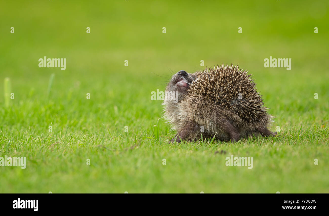 Hedgehog, Erinaceus Europaeus, wild, native, hedgehog indulging in the strange behaviour of self-anointing by spreading froth over their spines. - Stock Image