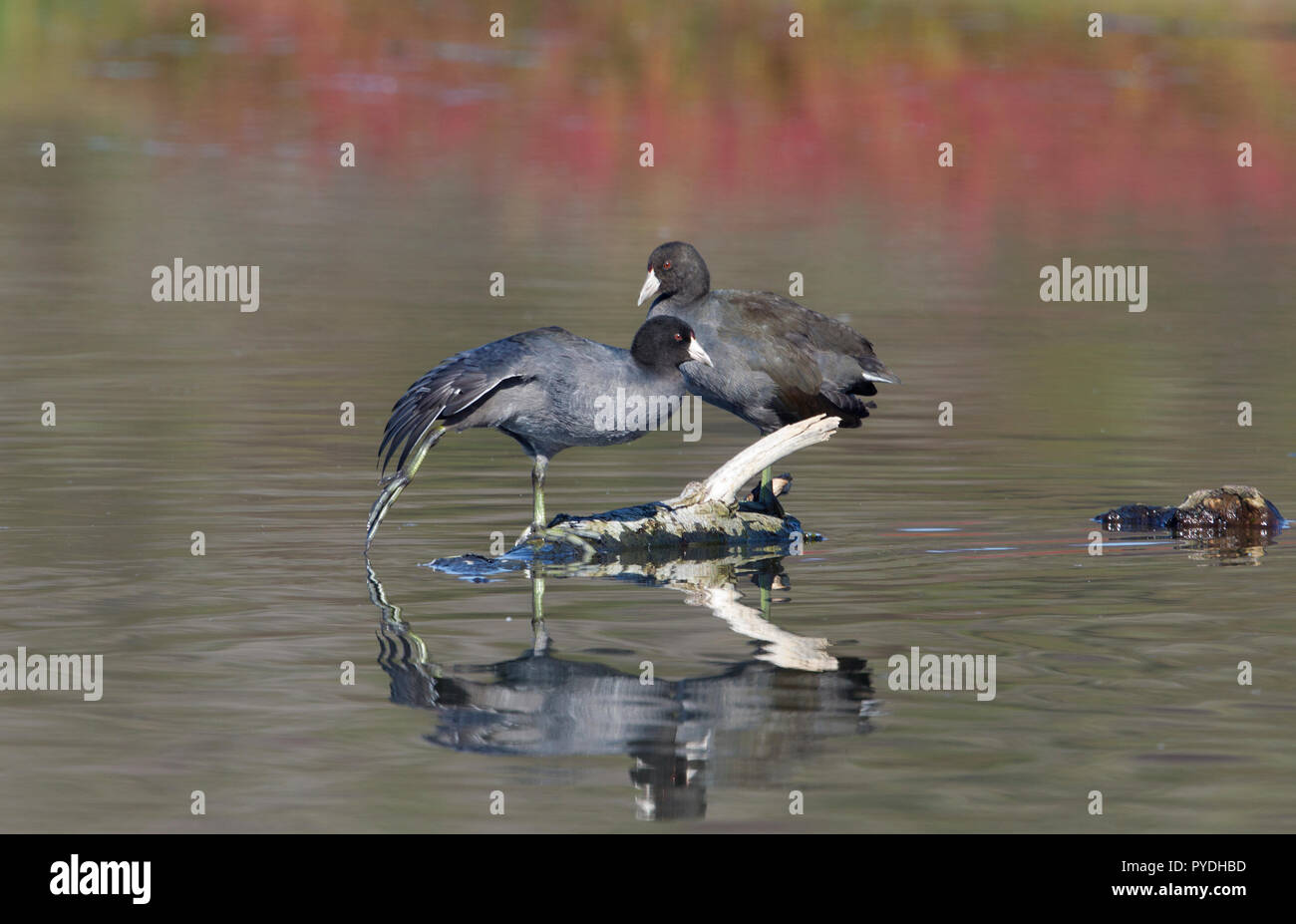 American Coots Stock Photo