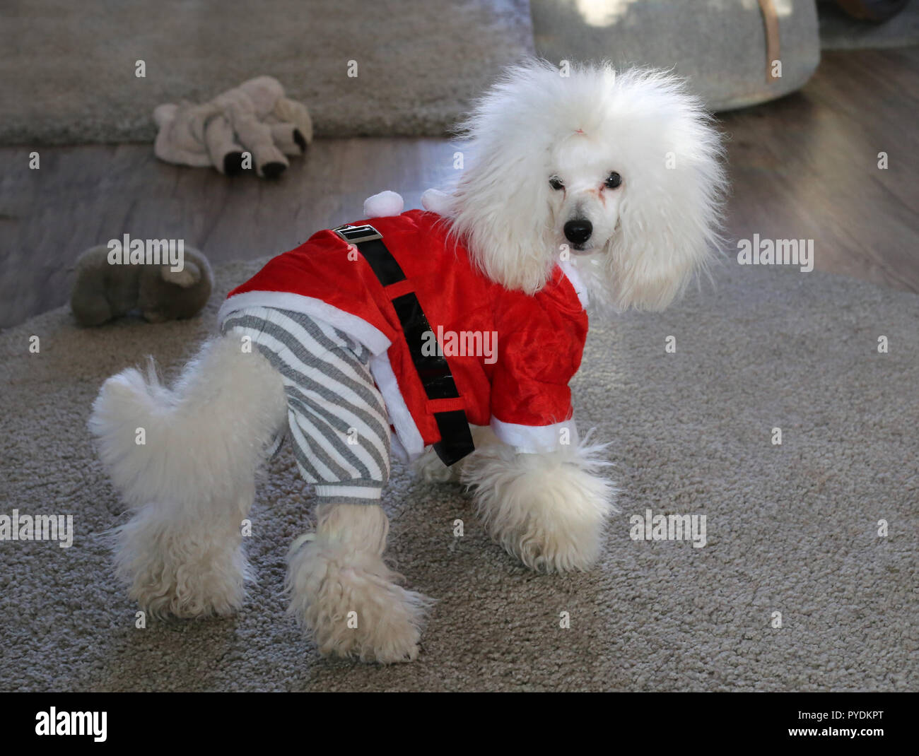 My white poodle dog wearing Christmas outfit. Furry, cute and funny looking dog photographed with neutral colored background where is carpets and toys - Stock Image