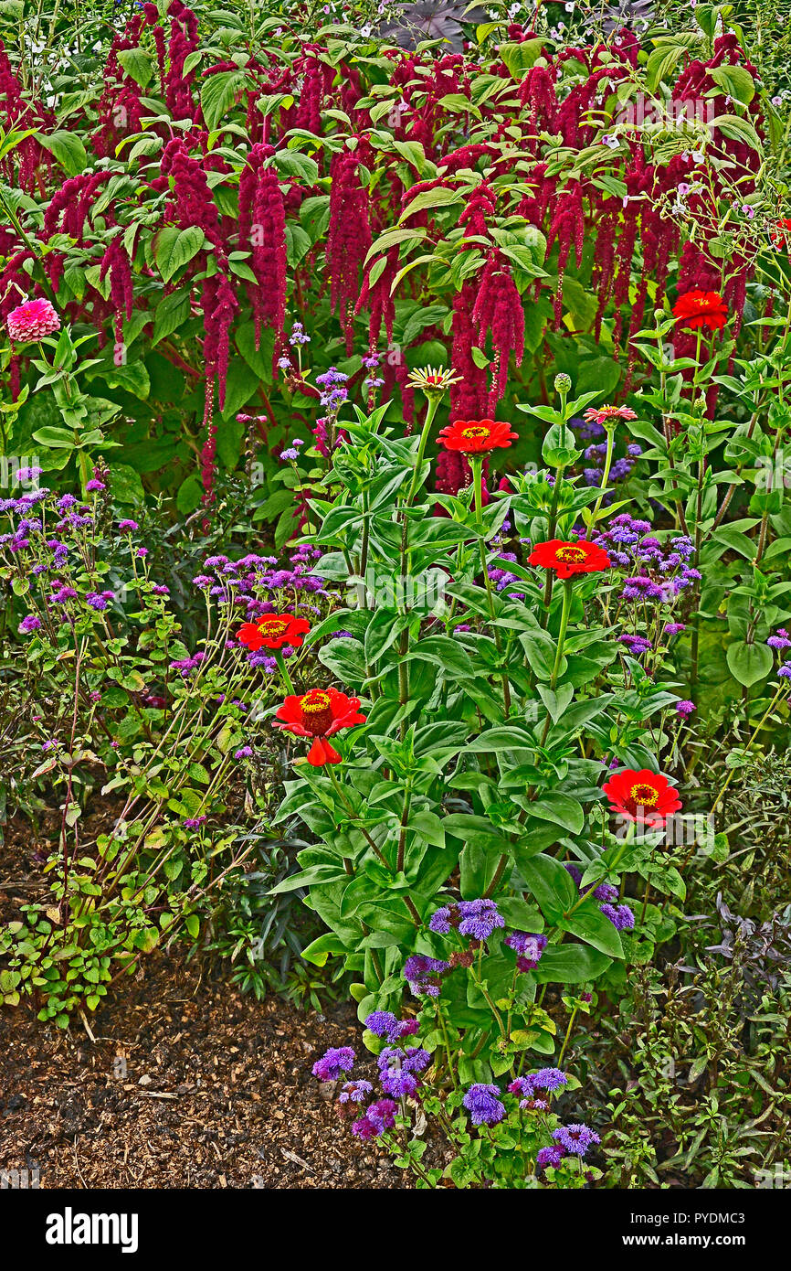 Detail of a flower border with Amaranthus caudatus, Love lies bleeding and Zinnias - Stock Image
