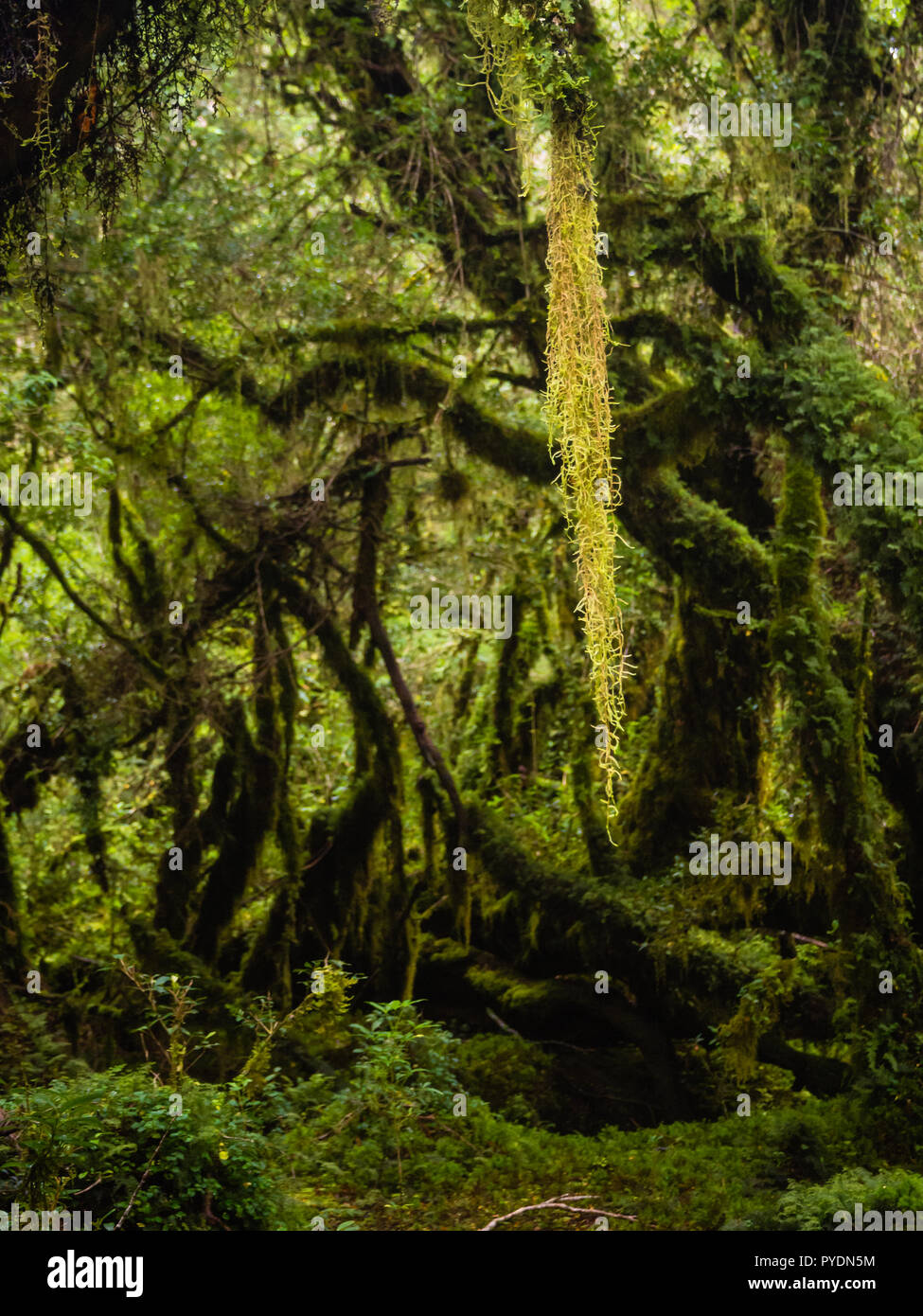Detail of the enchanted forest in carretera austral, Bosque encantado Chile patagonia - Stock Image
