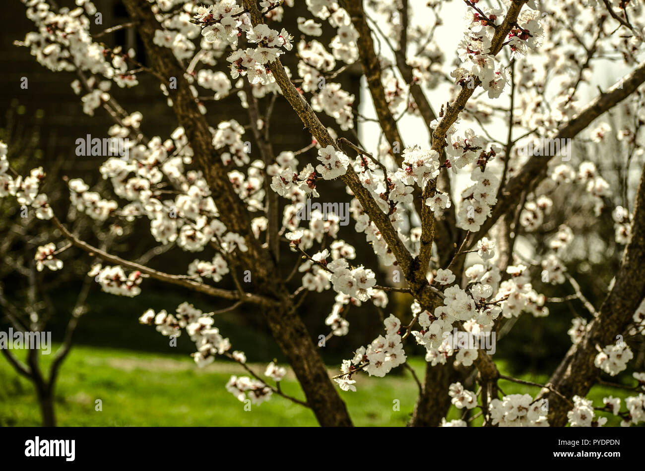 The Beginning Of Spring In Armenia Flowering Apricot Tree Stock