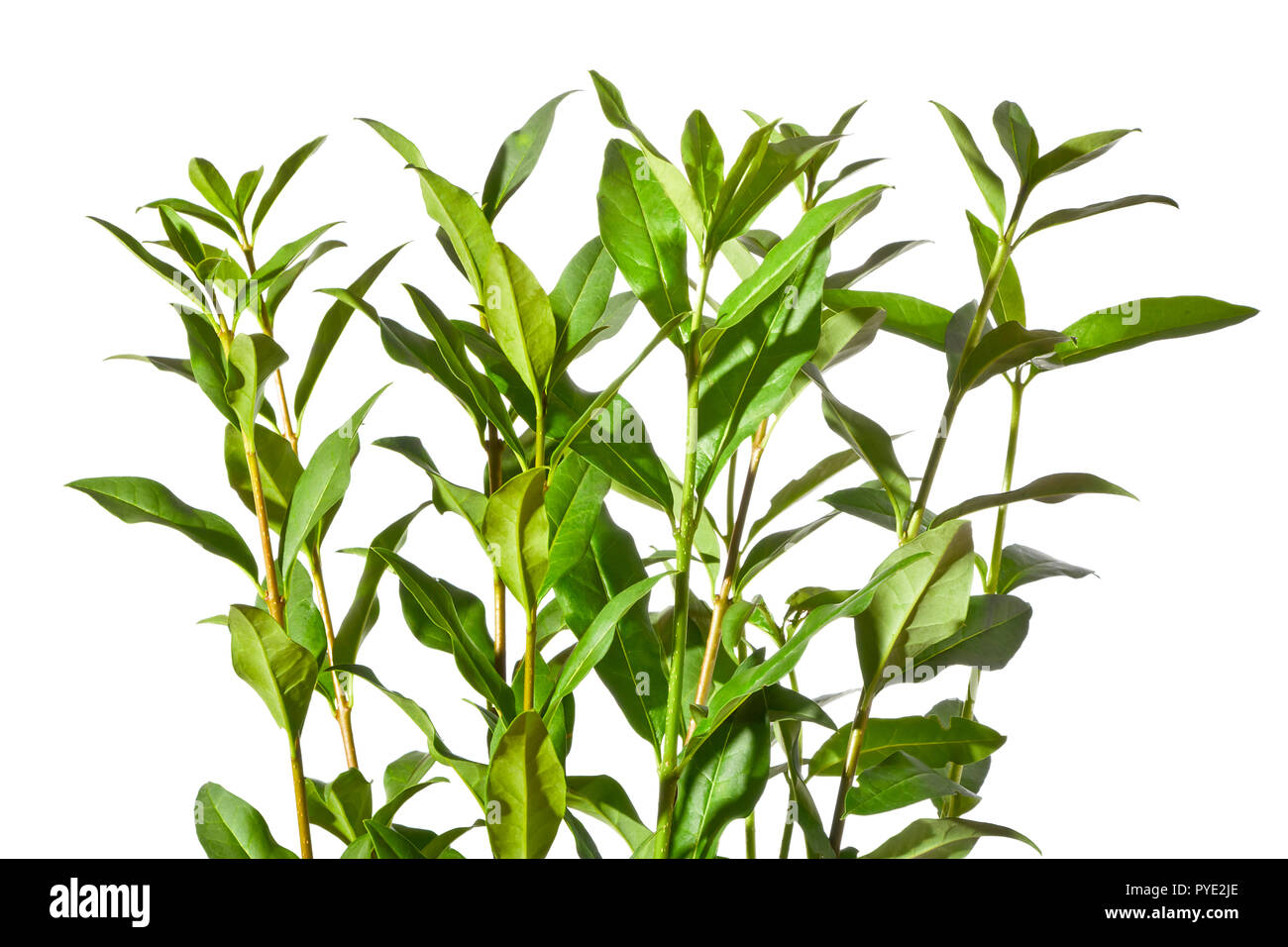 A privet twigs with leaves on a white background. - Stock Image
