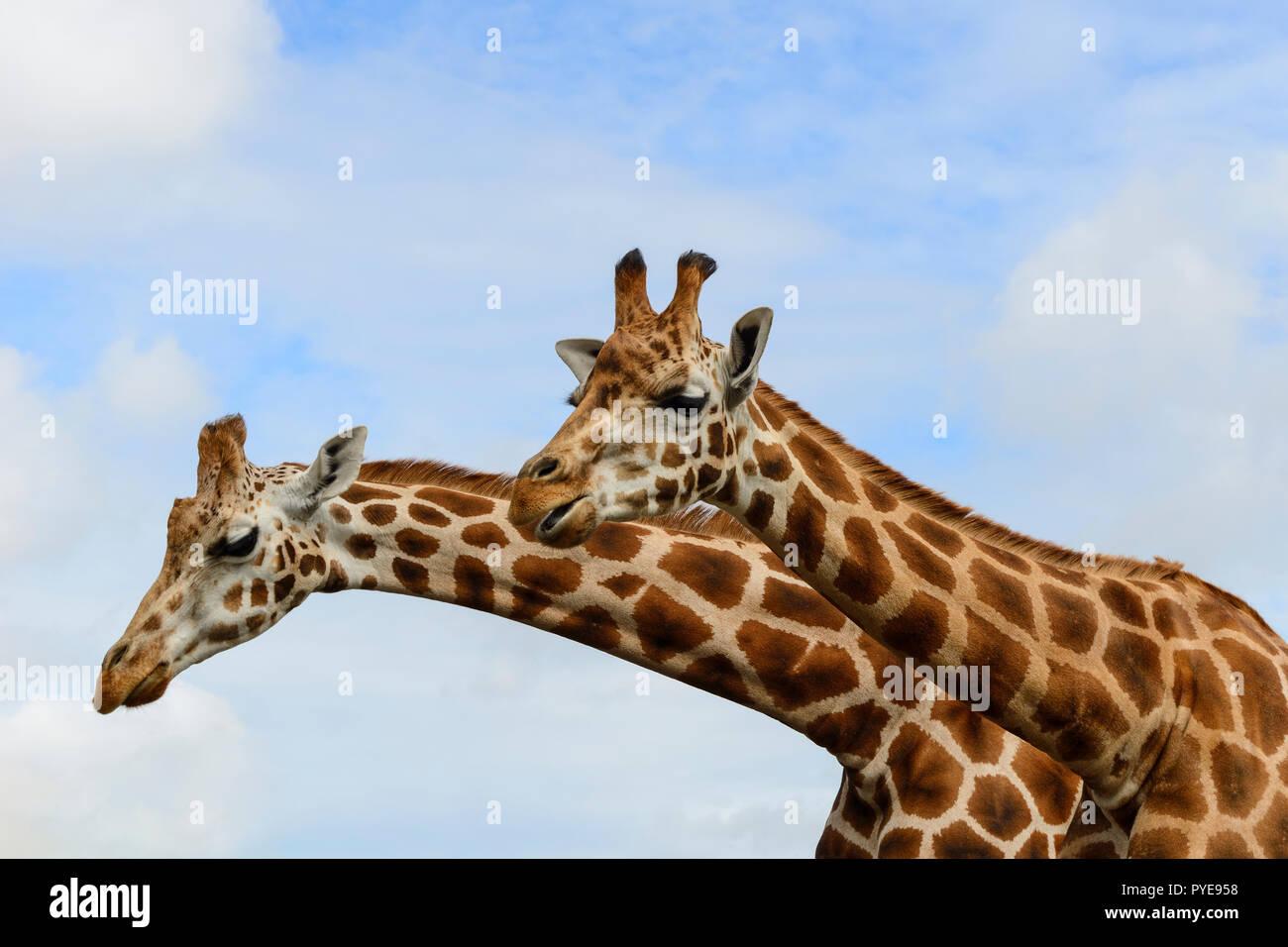 Two female Rothschild's giraffes at Fota Wildlife Park near Cobh, County Cork, Republic of Ireland - Stock Image
