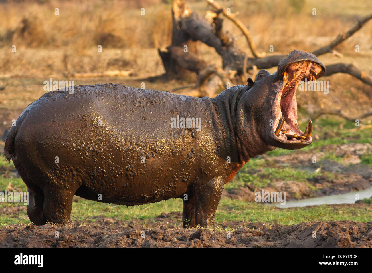 A hippo bull leaves the congestion of the hippo pool at Ikuu and makes exaggerated yawns as a clear threat gesture to others to make sure they keep cl - Stock Image