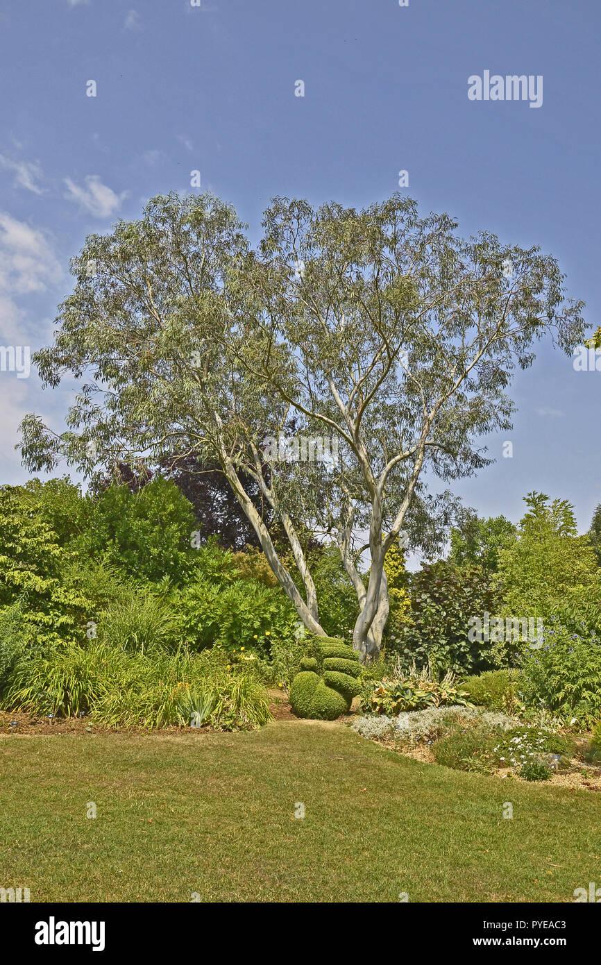 An impressive Eucalyptus pauciflora niphophila 'Snow Gum' growing in an English garden - Stock Image