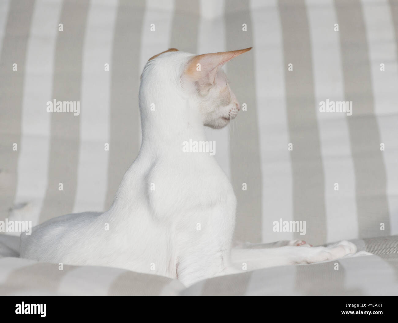 White colorpoint cat lounging on a deckchair - Stock Image