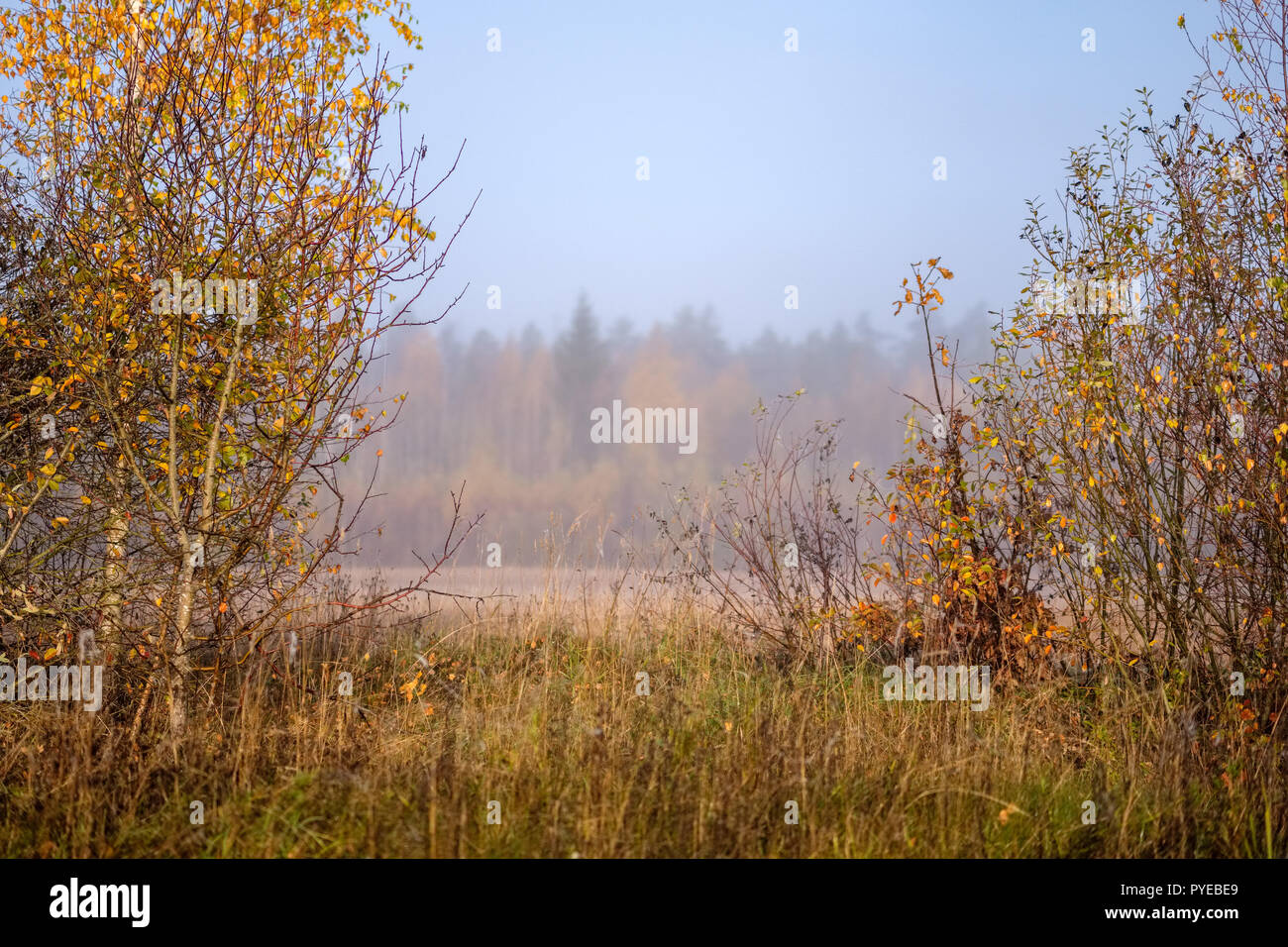 pleasing the senses or mind aesthetically lonely autumn trees hiding in mist in fall colored meadow - Stock Image